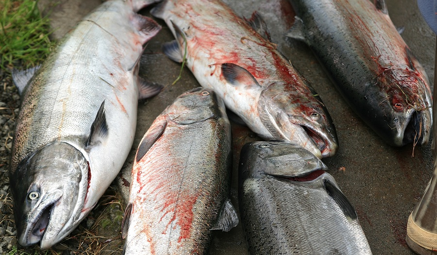 salmondeadstockphoto_summer_salmon_catch_1599767