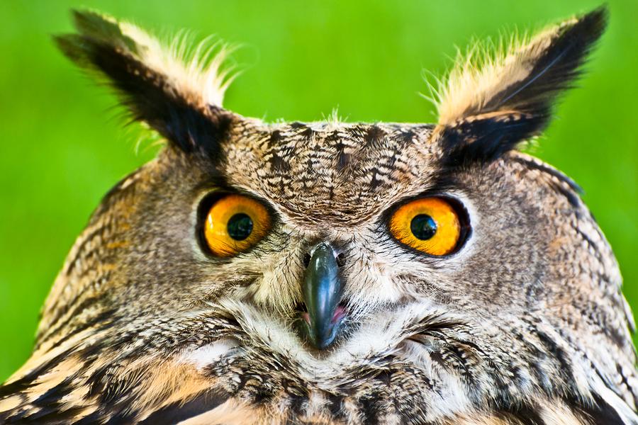 OWL-Eagle-Owl-46482007